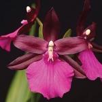 Мини каттеры Орхидея Miltonia