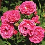 Мини каттеры Роза вьющаяся (цветок и листья)